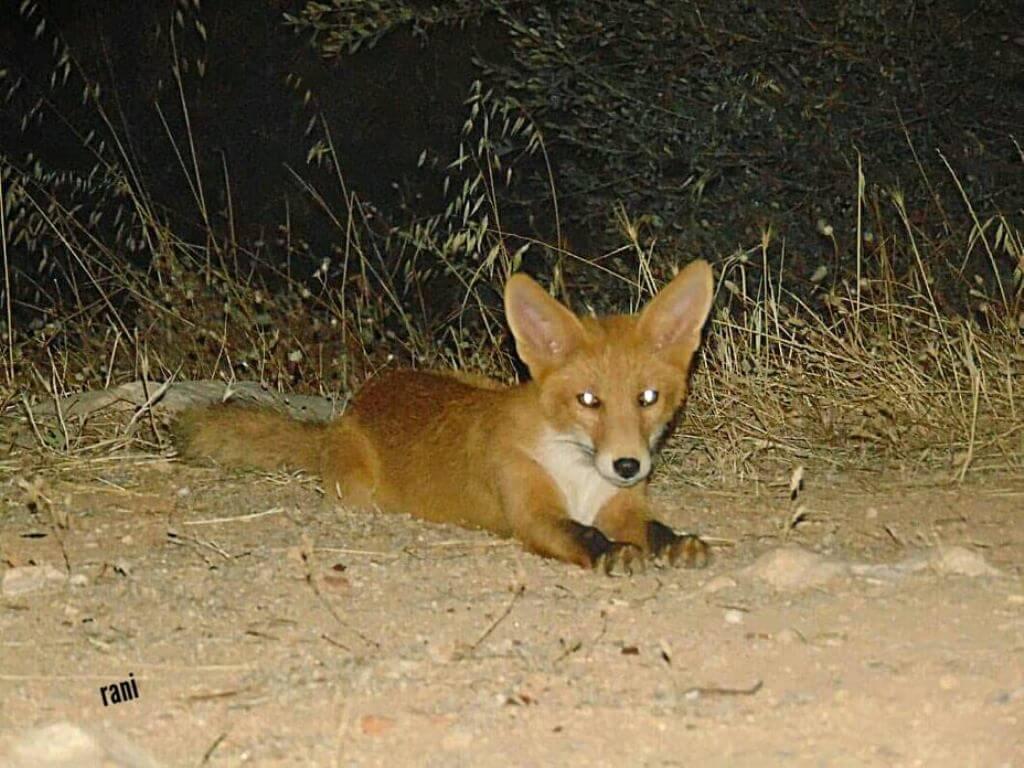 """""""Αλεπούδες Παπάγος: Βρέθηκαν 2 κοντά στο Τένις του Παπάγου"""