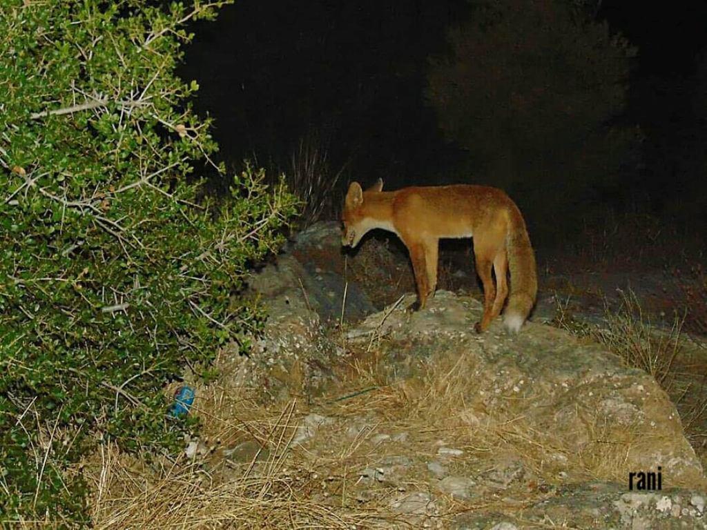 Αλεπούδες Παπάγος: Βρέθηκαν 2 κοντά στο Τένις του Παπάγου